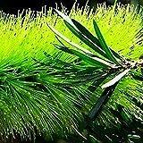 GREEN scovolino, Callistemon semi viridiflorus