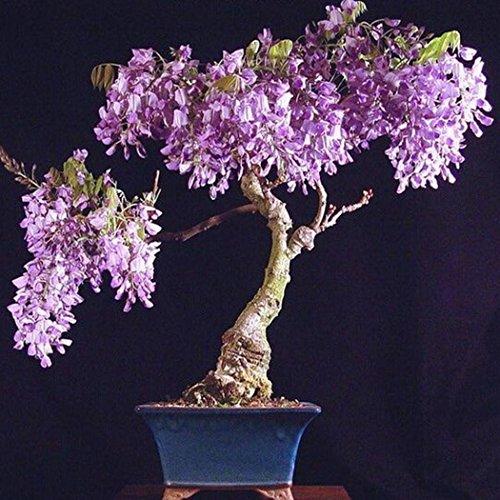 SummerRio 20 Stücke Glyzinie Baum Samen Blauregen Wisteria Sinensis Blumensamen Winterharter Blütentraum Kletterpflanze