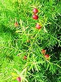 arbusto esparraguera falcatus fragante flor de semillas...