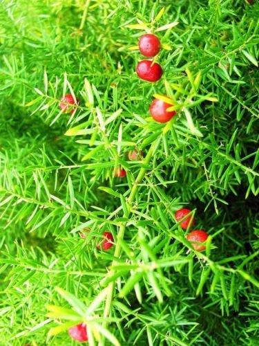 arbusto esparraguera falcatus fragante flor de semillas atract pájaro arbusto 100 semillas