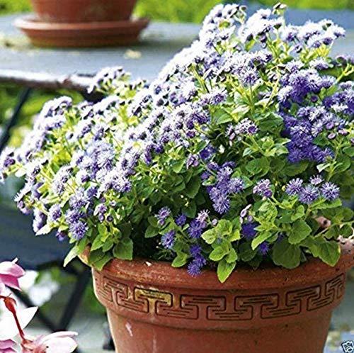 Tomasa Samenhaus- Seltene blaue Duft Ageratum Samen Leberbalsam 'Blue' Bumensamen Saatgut winterhart mehrjährig Pflanzensamen für Balkon, Garten