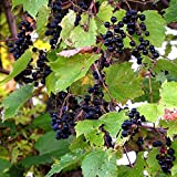 Wild Grape Vine Seeds (Vitis riparia) 10+ Michigan Wild Grape Seeds in FROZEN SEED CAPSULES for The Gardener & Rare Seeds Collector, Plant Seeds Now or Save Seeds for Years