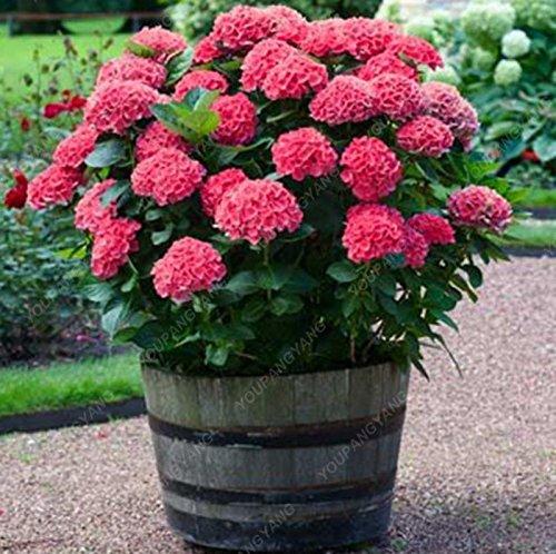 30 Pcs Hydrangea semences, hortensia bleu, Chine Hydrangea Graines de fleurs, bonsaïs Semences pour la maison Plantes de jardin