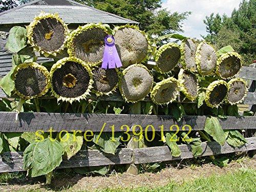 20 pcs géants graines de tournesol grosses graines de fleurs de tournesol noir russe graines géantes de maison jardin de tournesol