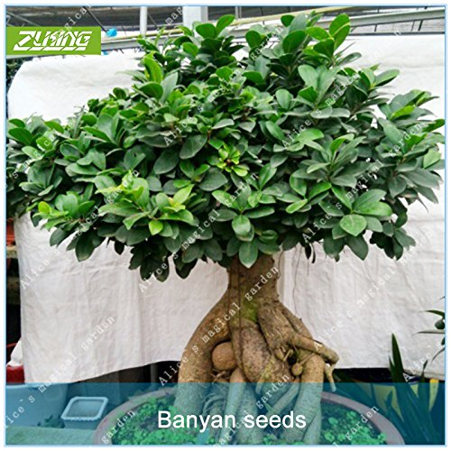 Zlking 100 pcs chinois Mini Banyan Tree Bonsai Graines Fresh Nature haute Taux de germination Ficus Microcarpa Plante en pot Seeds