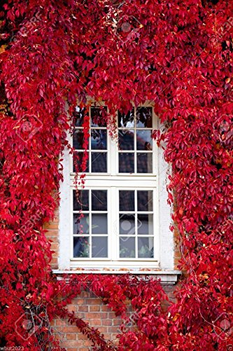 Virginia Creeper Seeds,Engelmann's,five-leaved Ivy,Parthenocissus quinquefolia.(300 Seeds)