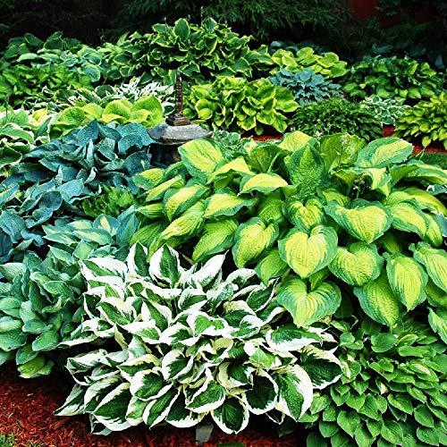 Mix 5x Stk Rhizome Funkien Hosta pflanze Mehrjährig Gartenpflanzen winterhart