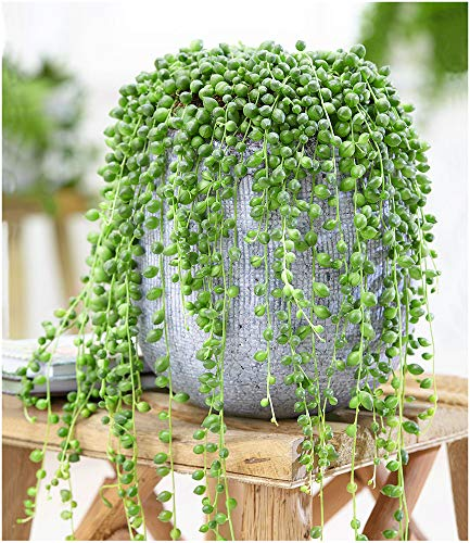 BALDUR-Garten Erbsenpflanze Senecio herreianus,1 Pflanze Perlenkette, Perlenschnur, Sukkulente