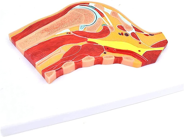 Shoulder Joint Model Human Skeletal Anatomy Muscle Product J Now on sale
