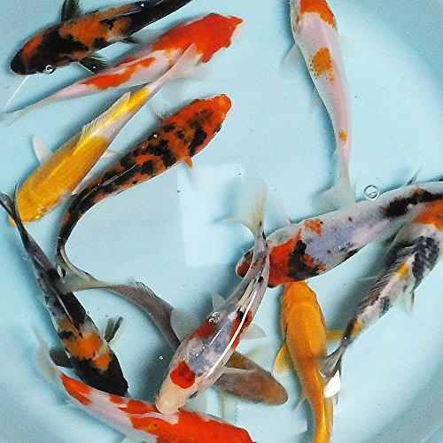 【生体】お任せ!錦鯉Mix 3匹 L 16cm~20cm 鯉 色鯉 emuwai