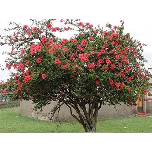 Rose Of Sharon Tree Amazoncom