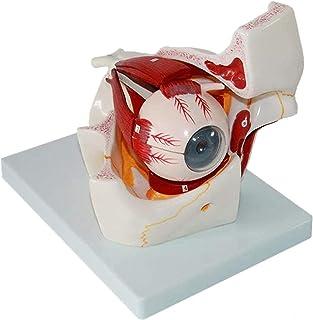 Studiemodel Educatief model Menselijk oogbolmodel Oogmodel Sensorisch orgaanmodel Oogbol- en baanmodel Oog vergroot model