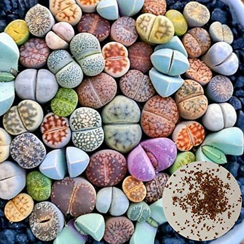 Las semillas suculentas, Semillas Semillas de estar 100 piezas ornamentales rústico de semillas suculentas para jardinería Ideal regalo al aire libre