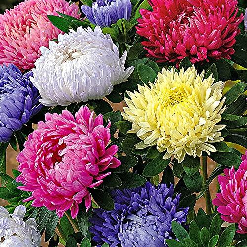 Charm4you Jardín Planta en Maceta perenne,Semillas combinadas de Flores Silvestres de Margarita de Cuatro Estaciones-Shizhu 500 Piezas,Ornamentales Semillas