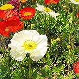 Flores Paisaje para cercas,Semillas de Flores perennes,Flor de Amapola, Four Seasons Plantas en macetas fáciles de vivir-500grain_White