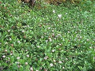 phyla nodiflora seeds