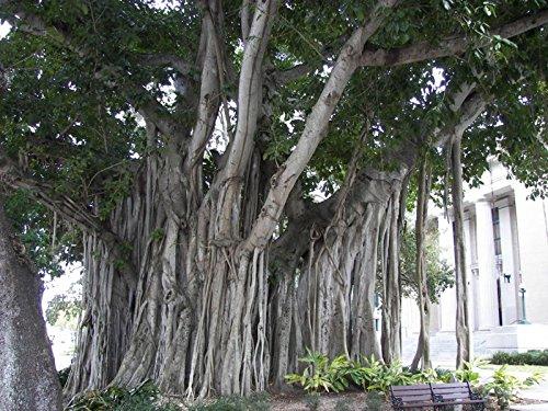 10 Ficus Benghalensis SACRED BANYAN TREE seeds - BONSAI