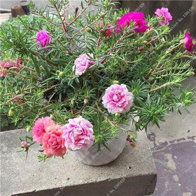 Graine coloré Portulaca, rose moussue Graine pourpier Double Flower Heat Tolerant, facile Semer des graines de fleurs en plein air 100 pcs/lot 1