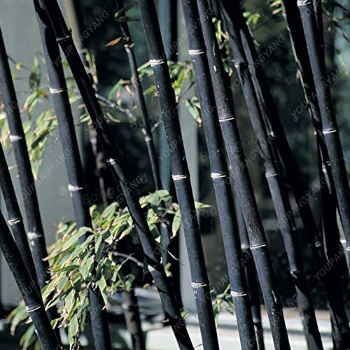50 pcs \ sac pot hybride, graines rares de bambou, l'air pur, maison décoration rose, couleurs rouge, jaune, vert, plantes en pot bonsaï jaune clair