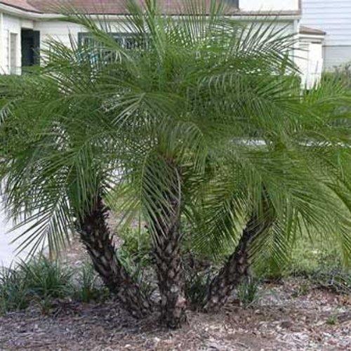 Paquet 10 Graines Phoenix Roebelenii (palmier dattier nain)