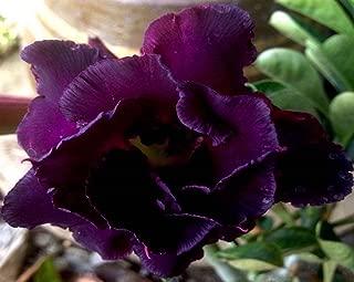 Best mature rose bushes for sale Reviews
