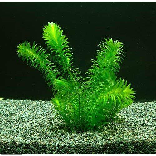 (水草) アナカリス メダカ 金魚藻 国産 オオカナダモ (10本)