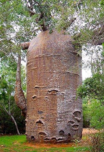 Affenbrotbaum Adansonia digitata, BAOBAB,BONSAI, 5 frische Samen