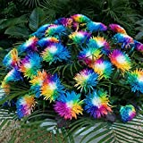 Die bizarren, leuchtenden Blüten der Strahlen-Chrysantheme Regenbogen springen in Beet & Vase sofort ins Auge Die Strahlen-Chrysantheme wird Jahr für Jahr zum Hit in Ihrem Gartenbeet und strahlt in Töpfen & Kübeln einen unwiderstehlichen Reiz aus. Di...