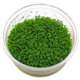 Aquarium Plants Factory Dwarf Baby Tears Tissue...