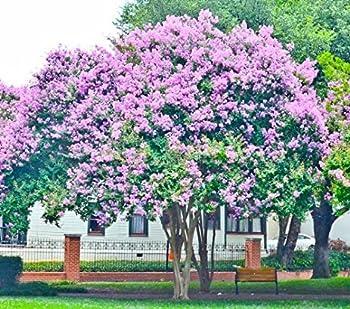 Bundle of 4 Muskogee Crepe Myrtle Trees - PURPLE BLOOMS - Quart Containers - FIBROUS ROOT SYSTEM - Crape Myrtle Guy - LIVE PLANTS