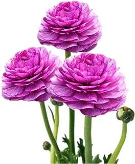 Tecolote Ranunculus Purple - Persian Buttercup Bulbs - 10 XL Bulbs - 8+ cm   Ships from Easy to Grow TM