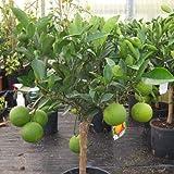 Cross Common Nursery Citrus Orange Tree Half Standard