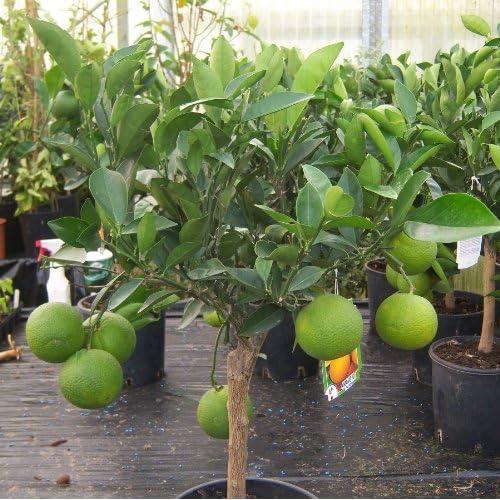 Orange Tree: Amazon co uk