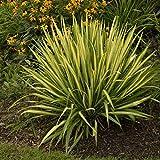 1 planta de yucca Filamentsa Color Guard maceta 20 cm Planta de aparato.