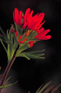 Castilleja coccinea   Scarlet Indian Paintbrush   Prairie Fire  100_Seeds