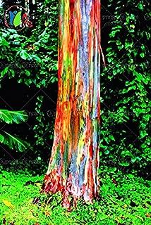 200/BAG rare Rainbow Eucalyptus deglupta, showy tropical tree, tree seeds for garden planting baby and lover like