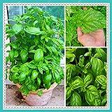 Portal Cool 200pcs semillas grandes hojas de albahaca hierba Bonsai Plantas de jardín