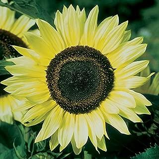 Sunflower Seeds - Lemon Queen - Ounce, Lemon Yellow Flowers with Black Center