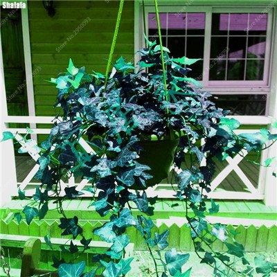100 pcs/sac exotiques Graines rares Couleur extérieure hybride Escalade Blooming Bonsai Potted Plant for Lvy Décor de jardin 1