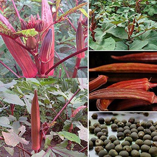 Zhouba rote Okra-Samen für Gartenpflanze, 100 Stück, seltene rote Okra-Samen, Gumbo, Garten, Hof, Outdoor, Gemüse, Pflanzen, von Zhouba