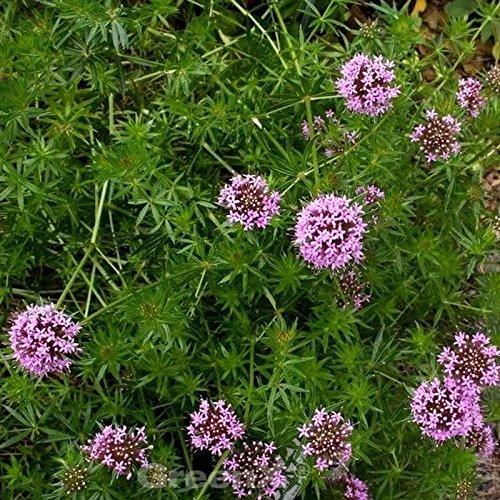 Rosenwaldmeister Purpurea - Phuopsis...