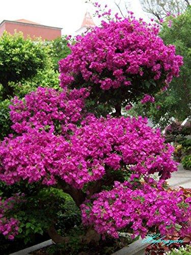 Neue Echt Blooming Pflanzen Pflanzen Sementes De Flores 50 Samen * Bougainvillea spectabilis Willd Bonsai Pflanzensamen (b000077)