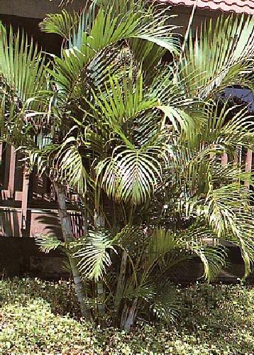 TROPICA - Palmera bambú o Areca (Chrysalidocarpus lutescens syn. Areca l.) - 10 semillas- Palmeras