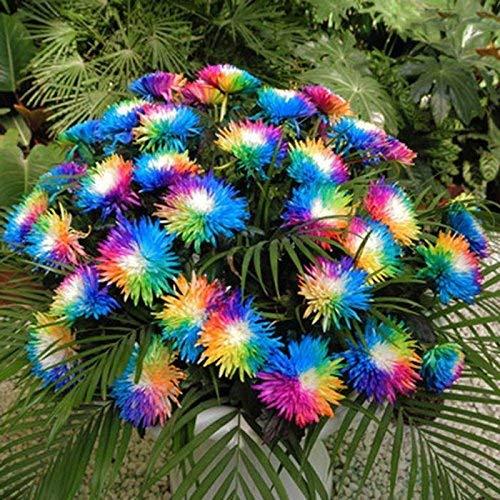 Acecoree Samenhaus- Selten Chrysanthemum Blumensamen Bunte Chrysanthemum Samen exotische blühende mehrjährig winterhart Samen für Balkon, Garten