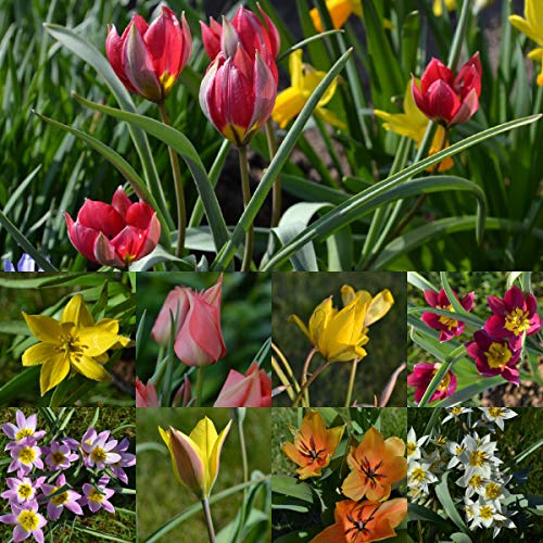 Blumenzwiebeln Steingarten-Tulpen Miniatur-Tulpen Botanische-Tulpen Mini-Tulpen mindestens 3 Sorten (50 Zwiebeln)