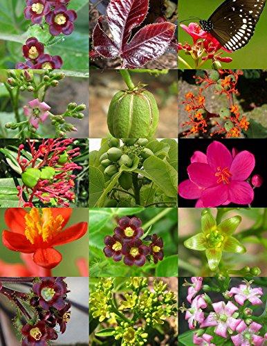 30 Samen Jatropha Mix Landschaft Pflanze Purgiernuss Caudex Blume Sukkulente Wüste