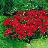 Rosa floribunda 'Nina Rosa'   Strauchrose   Rote Rosen   Höhe 40 cm   Ø-17 cm