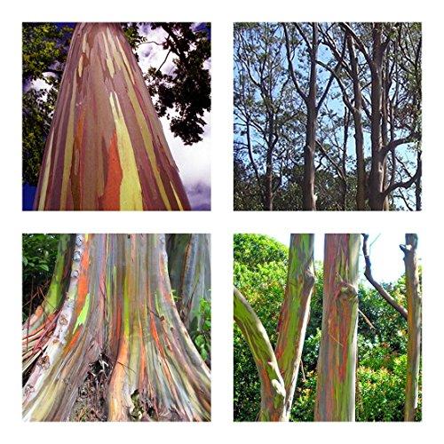 Regenbogenbaum - Eucalyptus deglupta (Bonsai geeignet) - 50 Samen