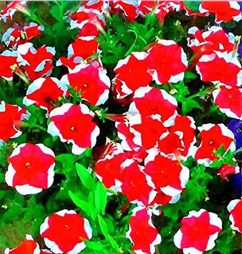 BAD Inc DD Heirloom 2 Paquet rouge Pétunia avec bord blanc Graines de fleurs annuelles