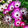 Tappeti Magici Semi Mixed - Mesembryanthemum criniflorum #2